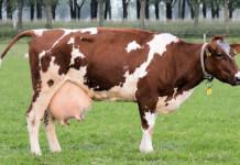 牛打荷爾蒙會分泌牛奶?