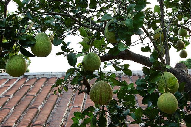文旦是柚子的一種。(圖片來源:作者cjc0327,C.C. Licence)https://flic.kr/p/oZKVkP