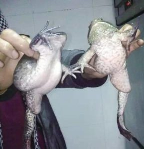 畸形牛蛙雙人組(圖翻攝網路)