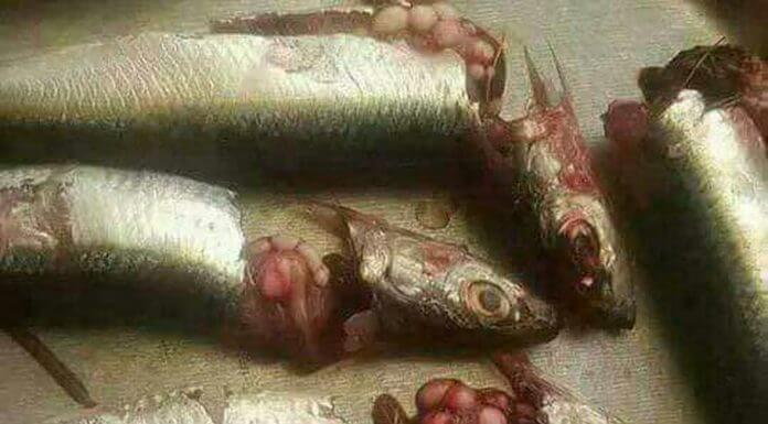 魚頭切開看到類似這樣的卵狀物