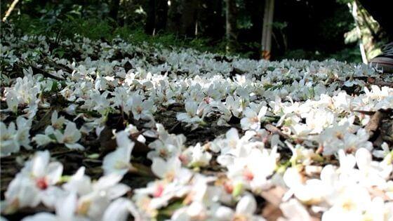 來點Sense/浪漫五月雪!全台 油桐花季 賞花好去處