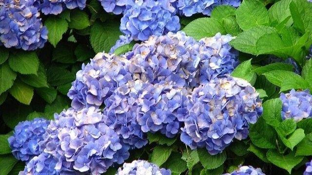 來點Sense/花都開好了!全台 繡球花景點 大公開,有3個在台北!