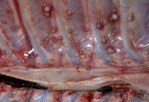 看到豬肉有 一粒粒小白點 ,那是癌症千萬不要吃?拜託先查明真相再發臉書可以嗎!