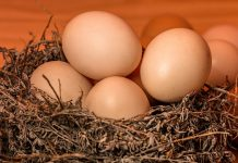 紅殼蛋營養價值比白殼蛋高