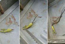 超噁!讓螳螂肚爆又跳水的 鐵線蟲 會寄生控制人類嗎?