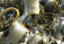 黑心海帶浸泡工業原料(圖翻攝自網路)