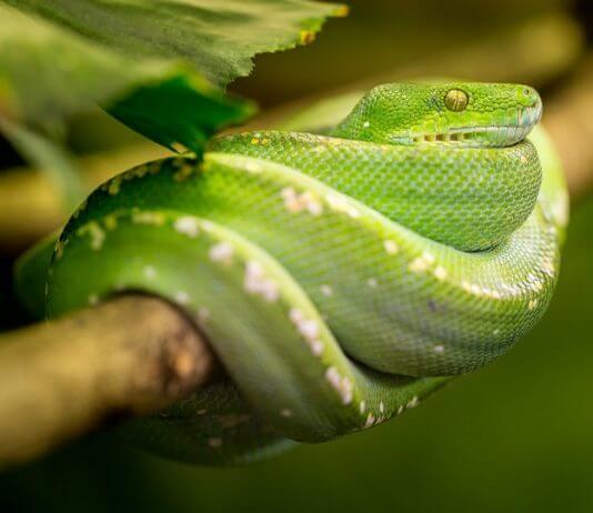用嘴巴把蛇毒吸出來(圖翻攝自網路)